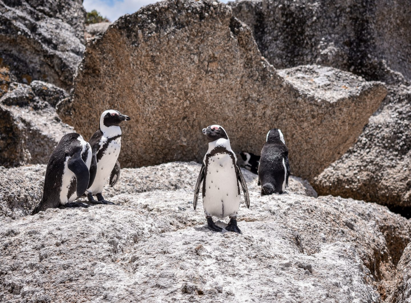 four penguins relaxing on a rock at Boulders Beach