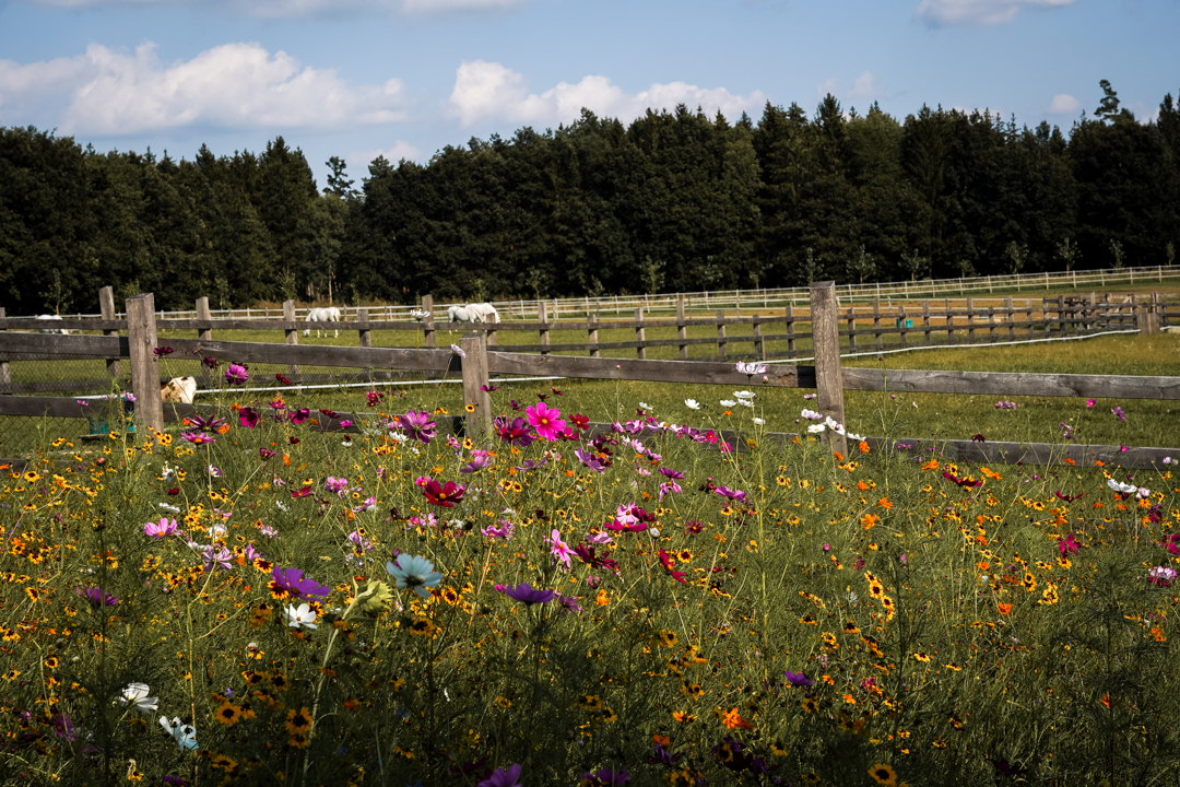 colorful flower field in front of a horse paddock with white horses