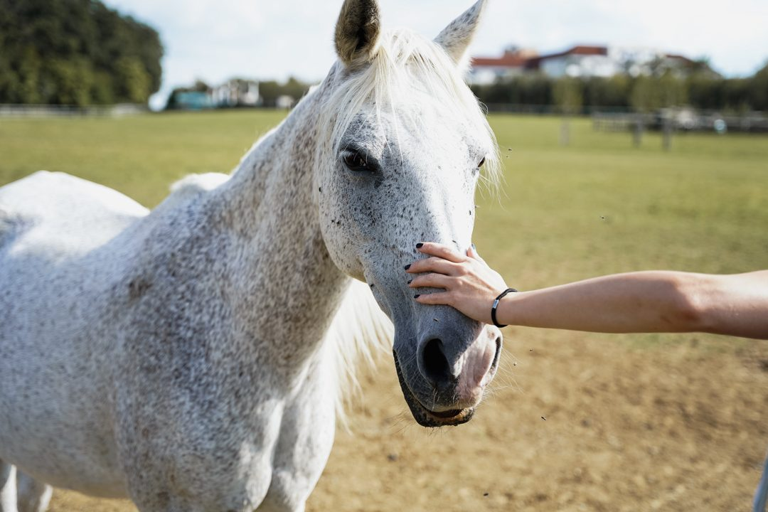 Lipizzaner horse with hand of woman on its nose